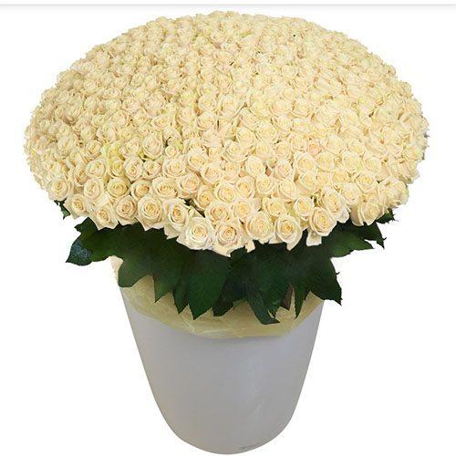 букет 301 біла троянда у великому вазоні