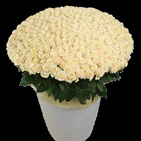 300 білих троянд
