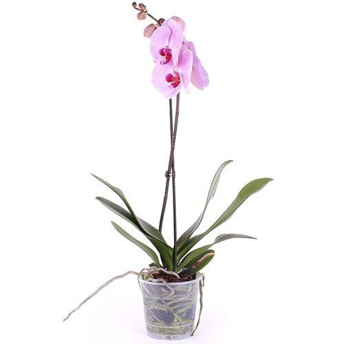 фото товару Орхідея